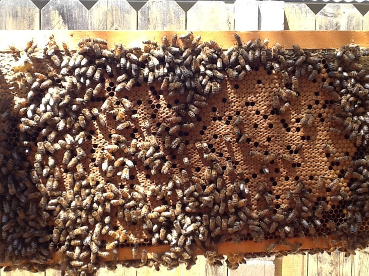 What the inside of a Healthy hive looks like