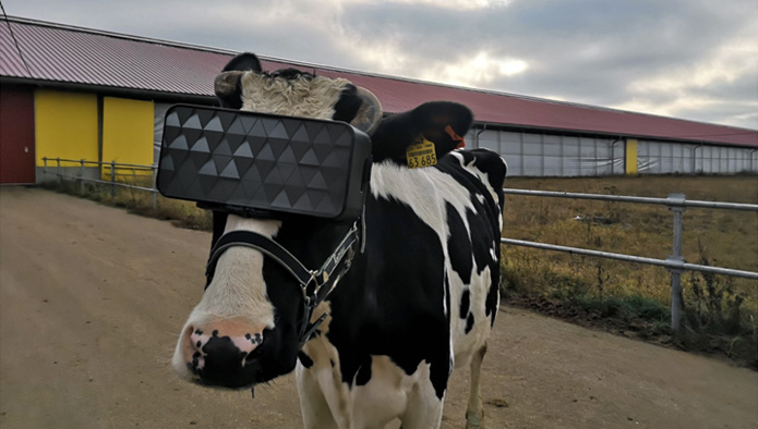 Russian Cows Wear VR Goggles to Relax